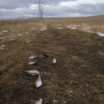 dead-ducks-under-power-line